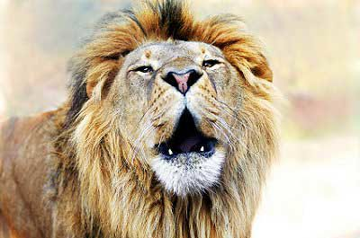 Born Town Lions on the loose in Nairobi